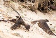 Uferschwalben an der Steilküste der Stroltera (c) FRank Koebsch (28)