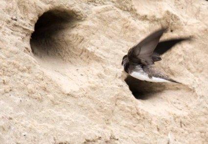 Uferschwalben an der Steilküste der Stroltera (c) FRank Koebsch (6)