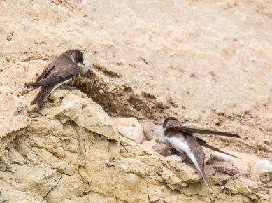 Uferschwalben an der Steilküste der Stroltera (c) FRank Koebsch (8)