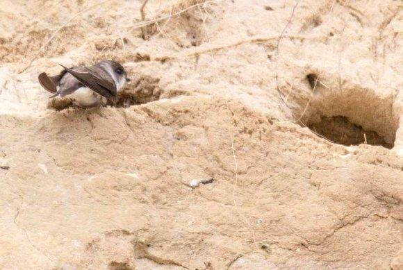 Uferschwalben an der Steilküste der Stroltera (c) FRank Koebsch (9)