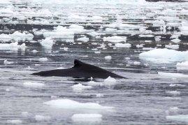 Buckelwale vor Ilimanaq in der Disko Bucht (1) Frank Koebsch