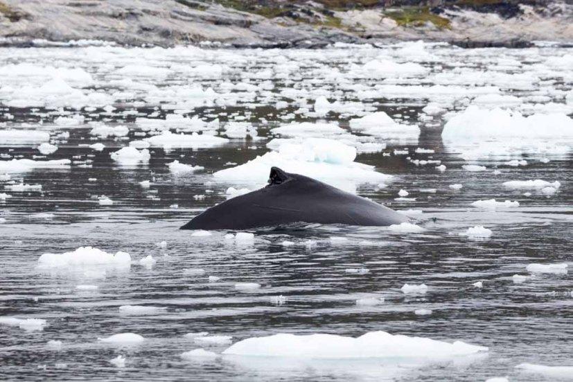 Buckelwale vor Ilimanaq in der Disko Bucht (13) FRank Koebsch