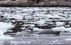 Buckelwale vor Ilimanaq in der Disko Bucht (14) FRank Koebsch