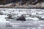 Buckelwale vor Ilimanaq in der Disko Bucht (18) FRank Koebsch