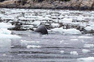 Buckelwale vor Ilimanaq in der Disko Bucht (20) FRank Koebsch