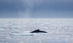 Buckelwale vor Ilimanaq in der Disko Bucht (22) FRank Koebsch