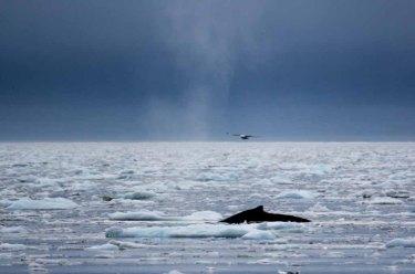Buckelwale vor Ilimanaq in der Disko Bucht (23) FRank Koebsch