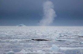 Buckelwale vor Ilimanaq in der Disko Bucht (24) FRank Koebsch