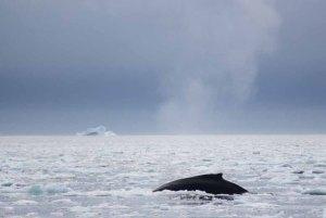 Buckelwale vor Ilimanaq in der Disko Bucht (34) FRank Koebsch