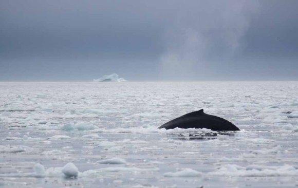 Buckelwale vor Ilimanaq in der Disko Bucht (35) FRank Koebsch
