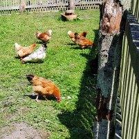 Ein bunter Hühnerhof im Freilichtmuseum Klockenhagen (c) FRank Koebsch (4)