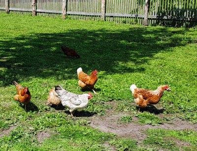 Ein bunter Hühnerhof im Freilichtmuseum Klockenhagen (c) FRank Koebsch (5)