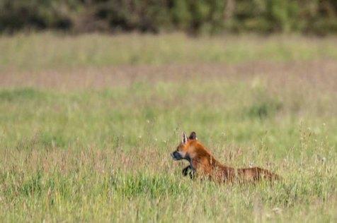 Fuchs auf unseren Wiesen (c) Frank Koebsch (8)