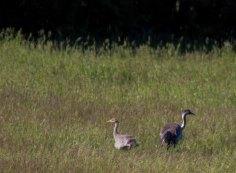 sechswöchiges Kranichküken mit Altvogel (c) FRank Koebsch (3)