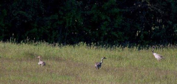 sechswöchiges Kranichküken mit beiden Altvögeln (c) FRank Koebsch (1)
