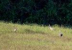 sechswöchiges Kranichküken mit beiden Altvögeln (c) FRank Koebsch (2)