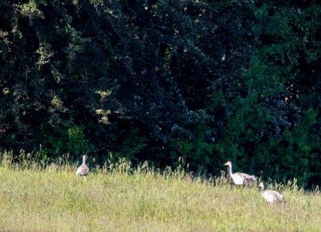 sechswöchiges Kranichküken mit beiden Altvögeln (c) FRank Koebsch (4)