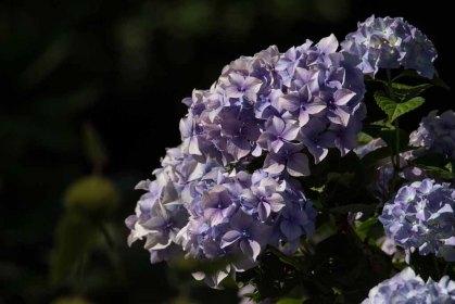 Hortensienblüten (c) Frank Koebsch (1)