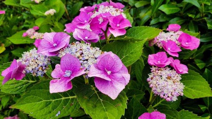 Hortensienblüten (c) Frank Koebsch (11)