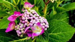 Hortensienblüten (c) Frank Koebsch (13)
