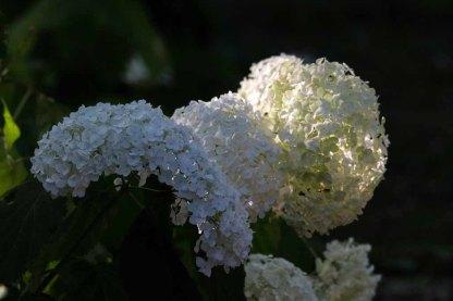 Hortensienblüten (c) Frank Koebsch (19)