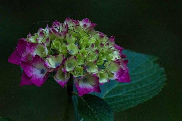 Hortensienblüten (c) Frank Koebsch (20)