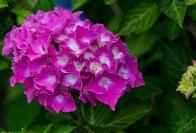 Hortensienblüten (c) Frank Koebsch (3)