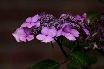 Hortensienblüten (c) Frank Koebsch (5)