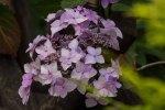 Hortensienblüten (c) Frank Koebsch (6)
