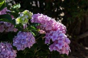 Hortensienblüten (c) Frank Koebsch (8)