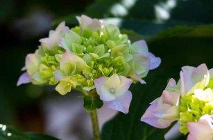 Hortensienblüten (c) Frank Koebsch (9)