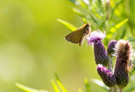 raunkolbiger Braun-Dickkopffalter auf den Blüten der Kratz Distel (c) FRank Koebsch (1)