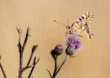 Distelfalter auf den Blüten der Kratz Distel (c) FRank Koebsch (3)