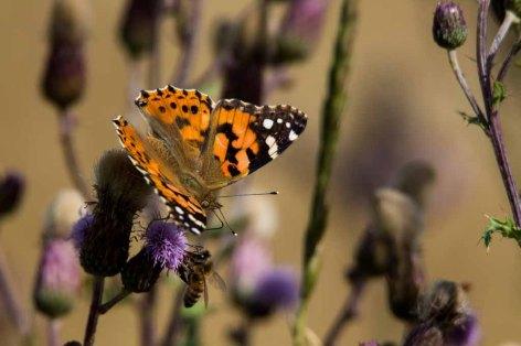 Distelfalter und Biene auf den Blüten der Kratzdisteln (c) FRank Koebsch (1)