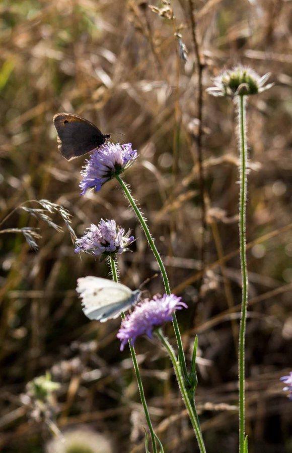Distelfalter und Kohlweißling auf den Blüten der Acker-Witwenblumen (c) Frank Koebsch (1)