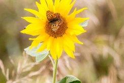 Große Perlmutterfalter auf der Blüte einer Sonnenblume (c) Frank Koebsch