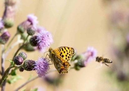 Großer Perlmutterfalter und Biene auf einer Kratzdistel (c) FRank Koebsch (3)