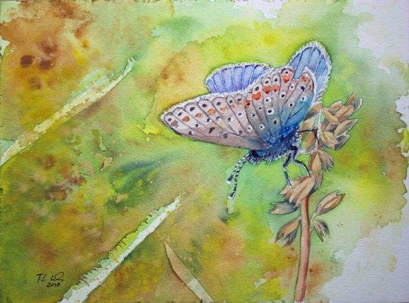 Hauhechel-Bläuling beim Sonnenbad (c) ein Schmetterlingsaquarell von Frank Koebsch