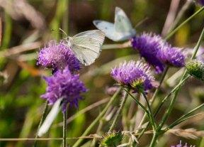 Kohlweißlinge auf den Blüten der Acker-Witwenblumen (c) Frank Koebsch (5)