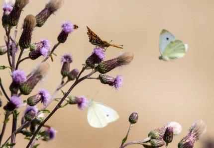 Schmetterlinge an den Kratzdisten (c) FRank Koebsch