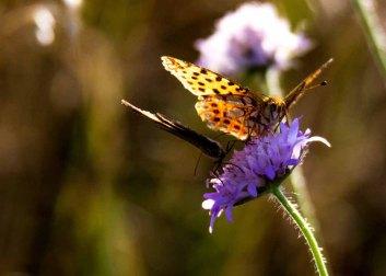 Große Perlmutterfalter auf der Blüte einer Acker Witwenblume (c) FRank Koebsch (1)