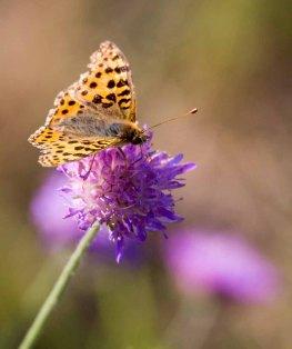 Große Perlmutterfalter auf der Blüte einer Acker Witwenblume (c) FRank Koebsch (2)