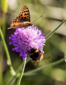 Große Perlmutterfalter und Hummel auf der Blüte einer Acker Witwenblume (c) FRank Koebsch ()