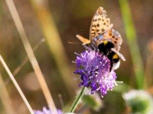 Große Perlmutterfalter und Hummel auf der Blüte einer Acker Witwenblume (c) FRank Koebsch