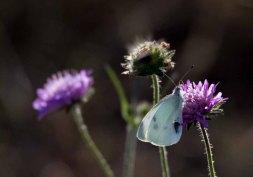 Kohlweißling auf der Blüte einer Acker-Witwenblume (c) Frank Koebsch (1)
