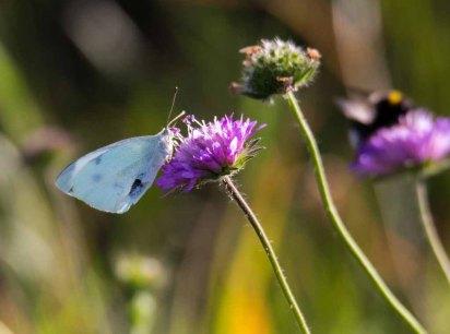 Kohlweißling auf der Blüte einer Acker-Witwenblume (c) Frank Koebsch (2)