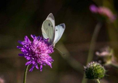 Kohlweißling auf der Blüte einer Acker-Witwenblume (c) Frank Koebsch (3)