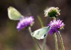Kohlweißlinge auf den Blüten der Acker-Witwenblumen (c) Frank Koebsch (1)