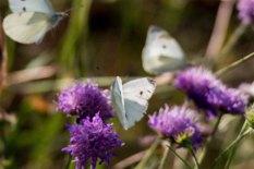 Kohlweißlinge auf den Blüten der Acker-Witwenblumen (c) Frank Koebsch (4)