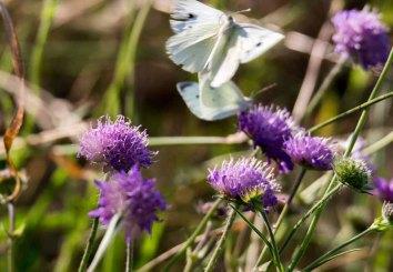 Kohlweißlinge auf den Blüten der Acker-Witwenblumen (c) Frank Koebsch (6)